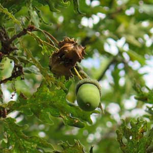 Gall on oak acorn